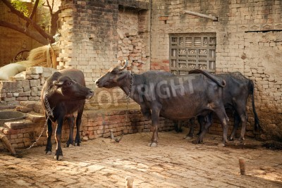 Indian black buffalo head portrait with alert expression in the face watching other buffaloes and  while resting in village  in india