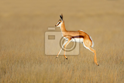 Jumping springbok antelope (Antidorcas marsupialis) in natural habitat, South Africa.