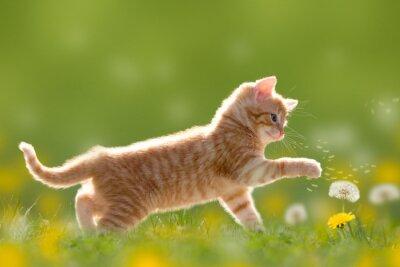 Canvas print Junge Katze spielt mit Pusteblume/Löwenzahn
