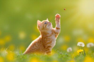 Canvas print Junge Katze/Kätzchen jagd einen Marienkäfer