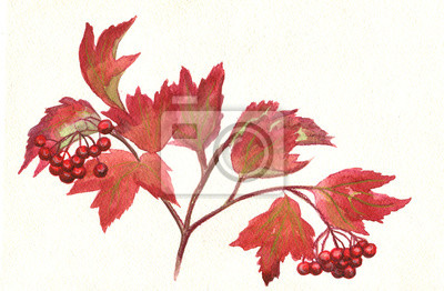 Canvas print Kalina. berries of viburnum on a branch. Watercolor painting