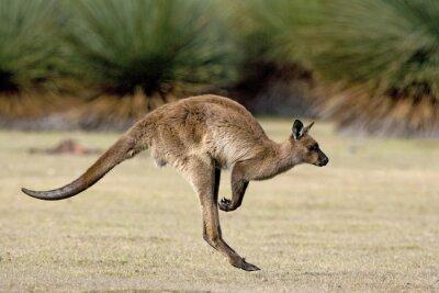 Canvas print Känguru beim Hüpfen