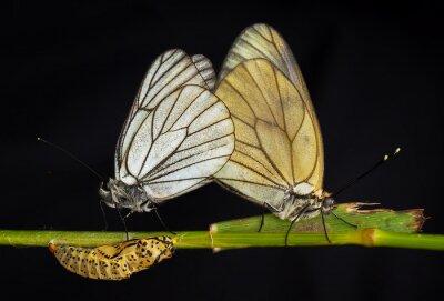 Canvas print Kelebekler