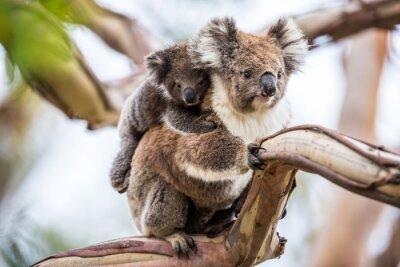 Canvas print Koala
