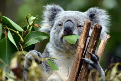 Canvas print Koala at Lone Pine Koala Sanctuary in Brisbane, Australia