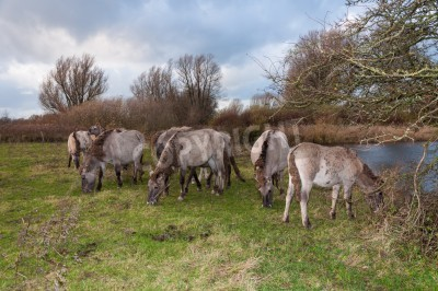 Konik horses in an autumnal rural landscape with a natural pond