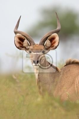 Kudu antelope, Kruger N/P, South Africa