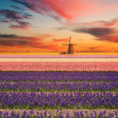 Canvas print Landscape with Fields of Hyacinth
