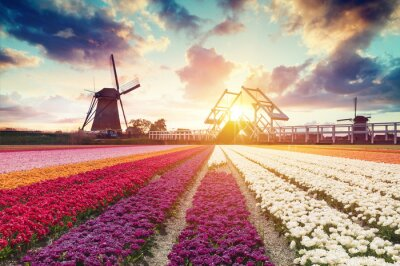 Canvas print Landscape with tulips, traditional dutch windmills and houses near the canal in Zaanse Schans, Netherlands, Europe