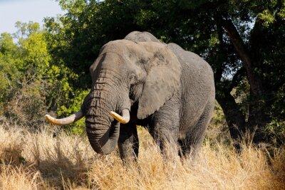 Large African bull elephant (Loxodonta africana), Kruger National Park, South Africa.