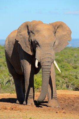 Canvas print Large African elephant bull (Loxodonta africana), Addo Elephant National park, South Africa.