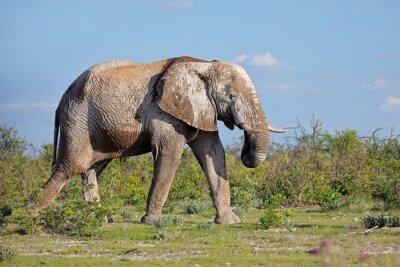 Large African elephant (Loxodonta africana) bull covered in mud, Etosha National Park, Namibia.