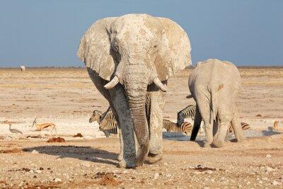 Canvas print Large African elephant (Loxodonta africana) bull covered in mud, Etosha National Park, Namibia.