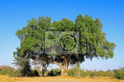 Large African sycamore fig tree (Ficus sycomorus), Kruger National Park, South Africa.