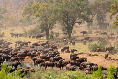 Large herd of African buffaloes (Syncerus caffer) at a river, Kruger National Park, South Africa.