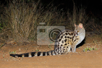 Large-spotted genet (Genetta tigrina) in natural habitat, South Africa .