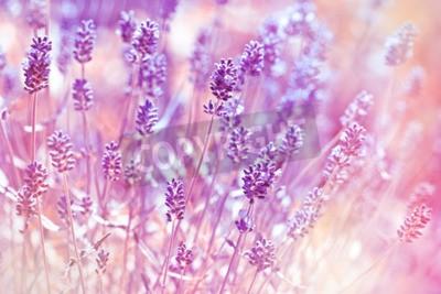Canvas print Lavender flowers in flower garden