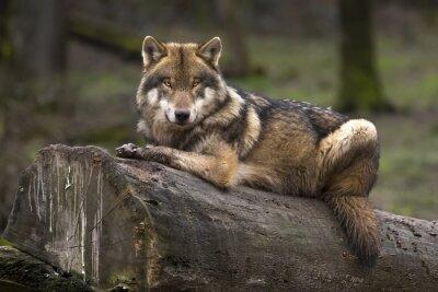 Canvas print Le loup gris