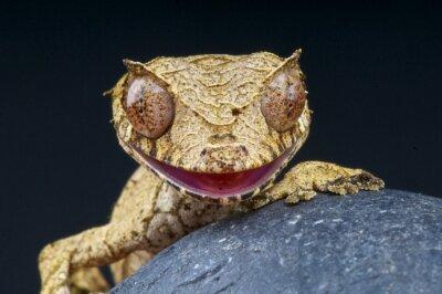 Canvas print Leaf-tailed gecko / Uroplatus phantasticus