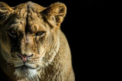 Canvas print leone - lion