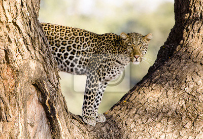 Canvas print Leopard in a tree