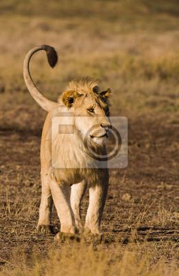 Canvas print lion