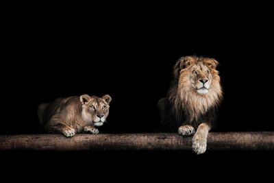 Canvas print Lion and lioness, Portrait of a Beautiful lions, lions in the da