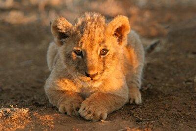 Canvas print lion cub