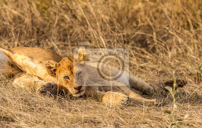 Lion cub resting with its mother