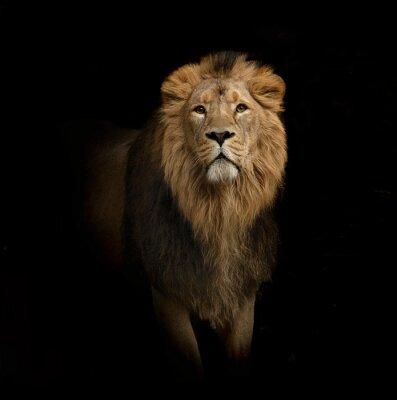 Canvas print lion portrait on black