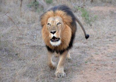 Canvas print Lion's Roar