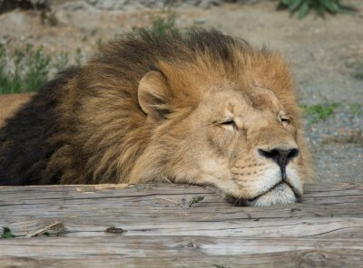 Canvas print Lion sleep