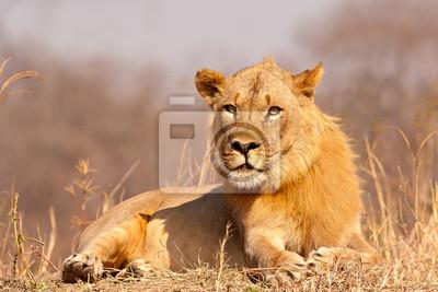 Lion staring at camera