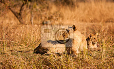 Lioness and cub resting