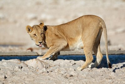 Lioness (Panthera leo) drinking water, Etosha National Park, Namibia.