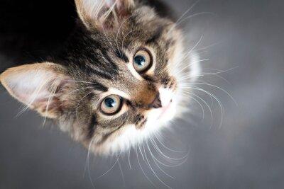 Canvas print little fluffy kitten on a gray background