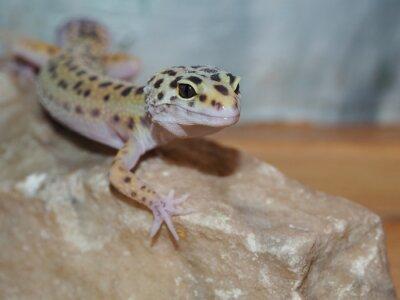 Canvas print Little leopard gecko on a stone. close up