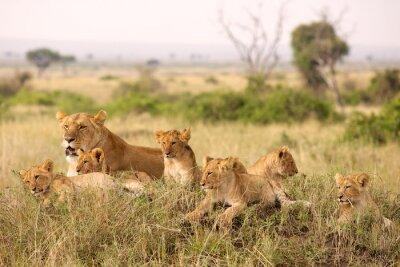 Canvas print Little lion cubs relaxing