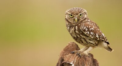 Canvas print Little owl on an old post looking at the camera