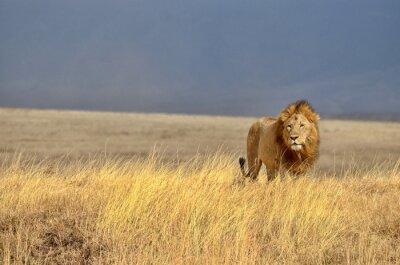 Canvas print Lonely Lion