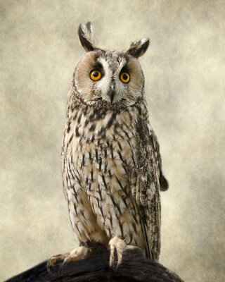 Canvas print Long Eared Owl, Textures added to bring out the owl's beauty.