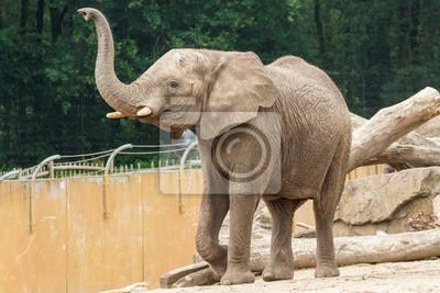 Canvas print Loxodonta africana, Afrika, Afrikaanse olifant,
