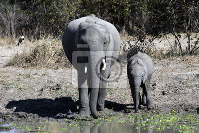 Canvas print Loxodonta africana / Eléphant d'Afrique