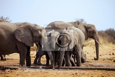 Canvas print Loxodonta africana, in Etosha National Park in Namibia