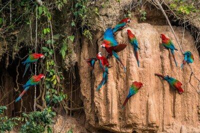 Canvas print macaws in clay lick in the peruvian Amazon jungle at Madre de Di