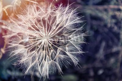 Canvas print Macro image of big beautiful dandelion. Small depth of field. Creative vintage filter, retro effect