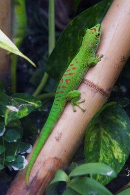 Canvas print Madagascar giant day gecko