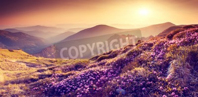 Canvas print Magic pink rhododendron flowers on summer mountain. Colorful sky. Carpathian, Ukraine, Europe. Beauty world.