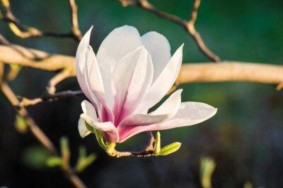 Canvas print magnolia flower in sunlight