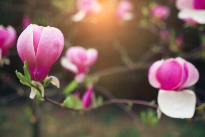 Canvas print magnolia flowers